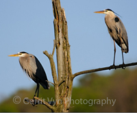 Caption: Great Blue Herons, Credit: Gerrit Vyn Photography