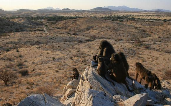 Caption: The Tsaobis Baboon Project in Namibia., Credit: Alecia Carter/Tsaobis Baboon Porject, CC-BY