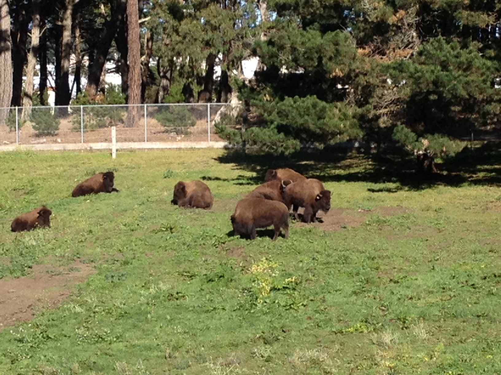 Caption: The bison of Golden Gate Park., Credit: Laura Klivans