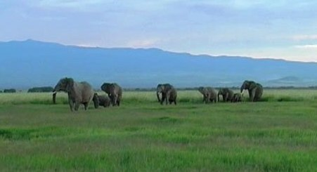 Caption: Elephants respond to Maasai male playback., Credit: courtesy of Graeme Shannon