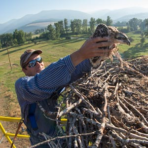 Caption: Researcher Heiko Langer removes one of three baby osprey for banding from a nest west of Missoula.