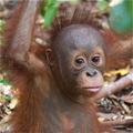 Orangutan_baby_small