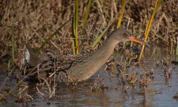 Caption: A California Clapper Rail at Arrowhead Marsh, MLK Regional Shoreline, Oakland, CA., Credit: Len Blumin