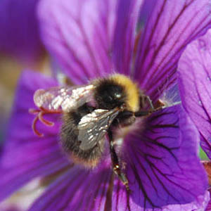 Caption: Bumblebee at Work, Credit: Mike Hally