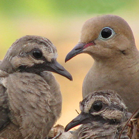 Caption: Mourning Doves, Credit: © Andrew Atzert