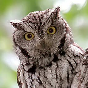 Caption: Western Screech-Owl, Credit: © Steve Metz