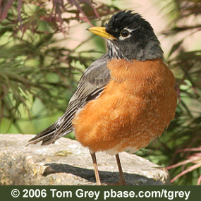 Caption: American Robin, Credit: © Tom Grey