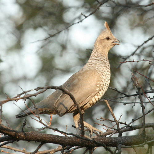 Caption: A Scaled Quail takes up residence in the oasis, Credit: Carolyn Ohl-Johnson