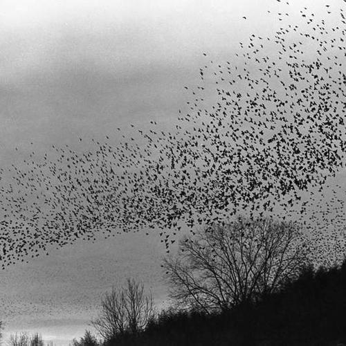 Caption: Cowbird flock, predawn, Credit: Hunter Desportes