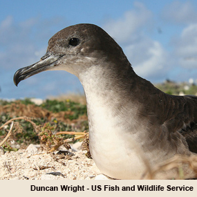 Caption: Wedge-tailed Shearwater, Credit: Duncan Wright