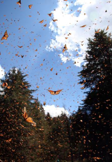 Caption: Monarchs in flight., Credit: Sonia Altizer