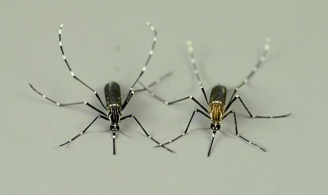 Caption: A black forest female Aedes aegypti formosus (left) bites animals and a brown domestic female Aedes aegypti (right) bites humans. , Credit: Photo credit: Lindy McBride