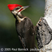 Caption: Pileated Woodpecker, Credit: Paul Bannick