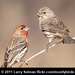 Caption: A pair of House Finches, Credit: Larry Selman