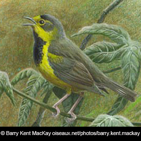 Caption: A male Bachman's Warbler, Credit: Barry Kent MacKay