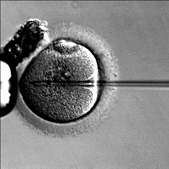 Caption: In vitro fertilization (IVF) in progress. , Credit: Wikimedia Commons.