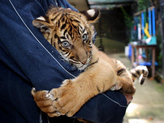 Melbourne-zoo-tiger-cub_small