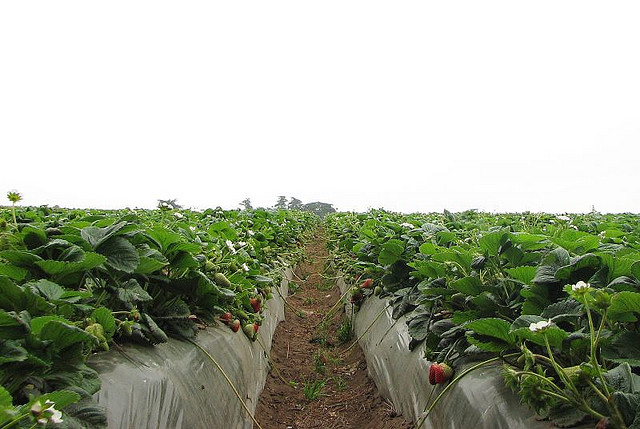 Caption: Strawberry field in Watsonville, California , Credit: SGrace via Flickr