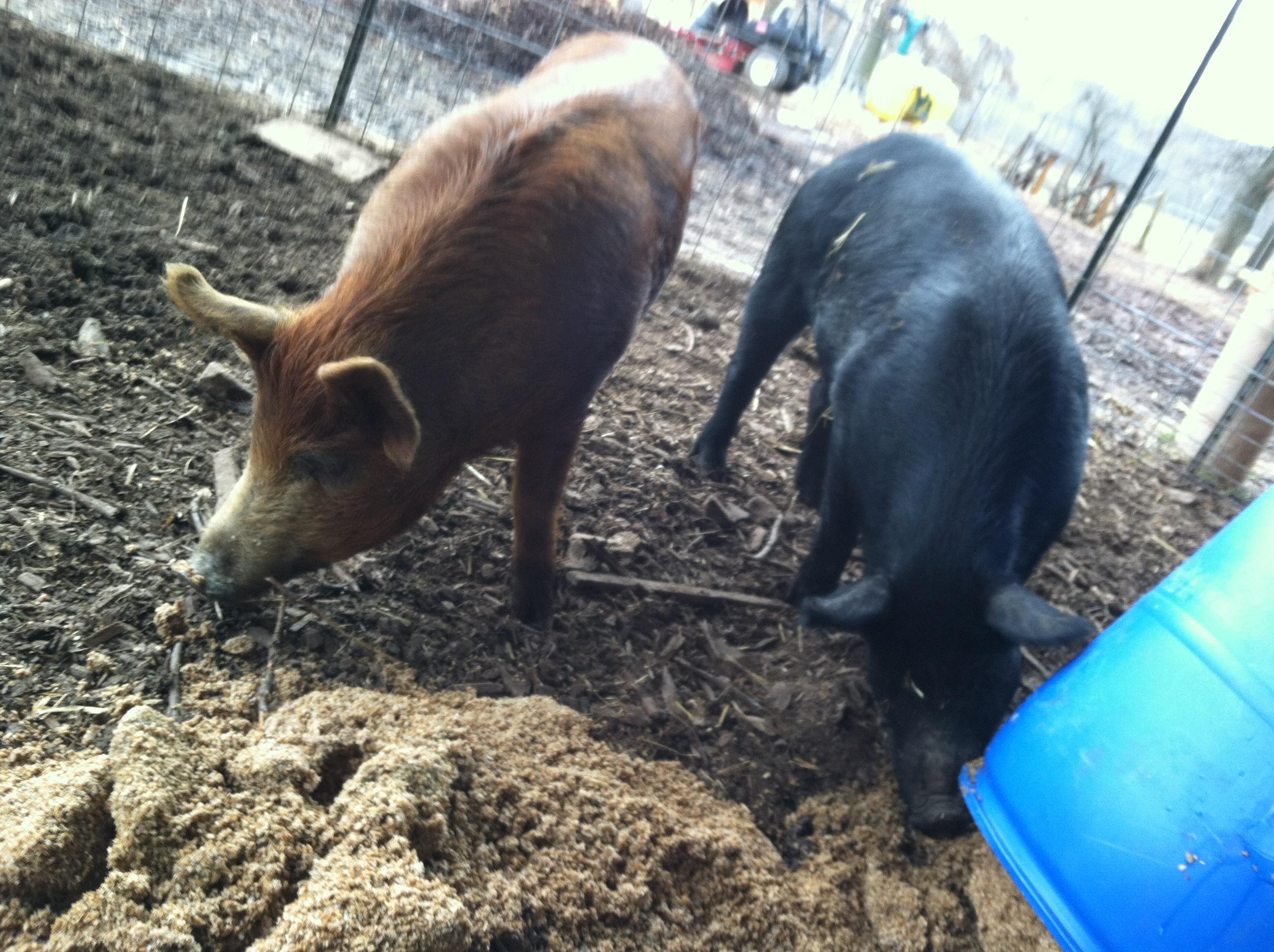 Caption: Pigs at Rocklands Farm go hog wild over spent grain., Credit: Rebecca Sheir