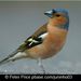 Caption: Chaffinch, Credit: Peter Price