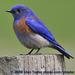 Caption: Western Bluebird, Credit: Glen Tepke