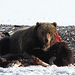 Caption: A bear in Yellowstone National Park in April 2013, Credit: . Jim Peaco, National Park Service