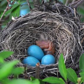 Caption: American Robin Nest, Credit: Julie Falk