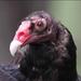 Caption: Turley Vulture, Credit: Pat Gaines