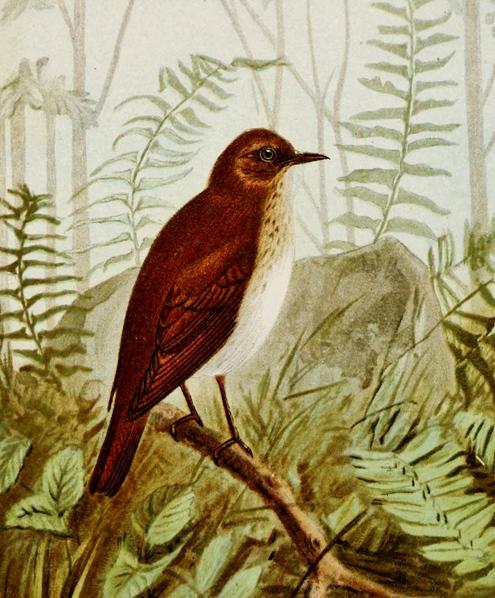 Caption: Veery, Credit: Biodiversity Heritage Library