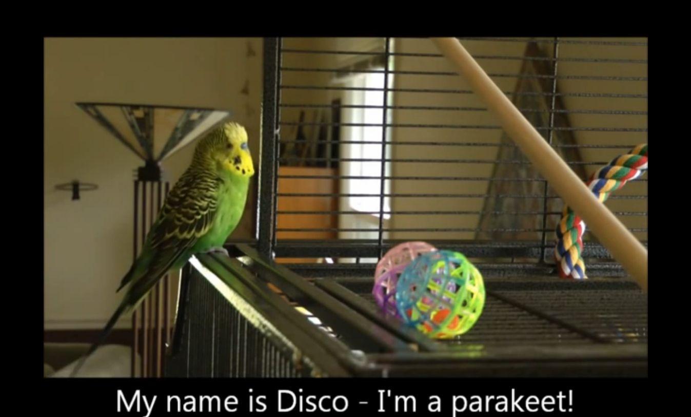 Caption: Disco the talking parakeet., Credit: Courtesy of Judy Bolton