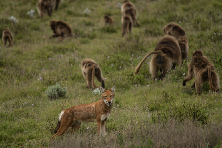 Caption: An Ethiopian wolf among a herd of grazing gelada monkeys., Credit: © Jeff Kerby