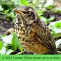 American-robin-baby-carmen-elliott-285_small
