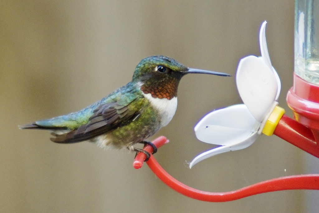 Caption: Ruby-throated hummingbird, Credit: Catherine Mullhaupt on Flickr
