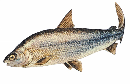 Caption: Lake Whitefish (Coregonus clupeaformis), Credit: NOAA, Great Lakes Environmental Research Laboratory