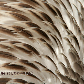 Caption: Brown Pelican Feathers, Credit: M Kuhn