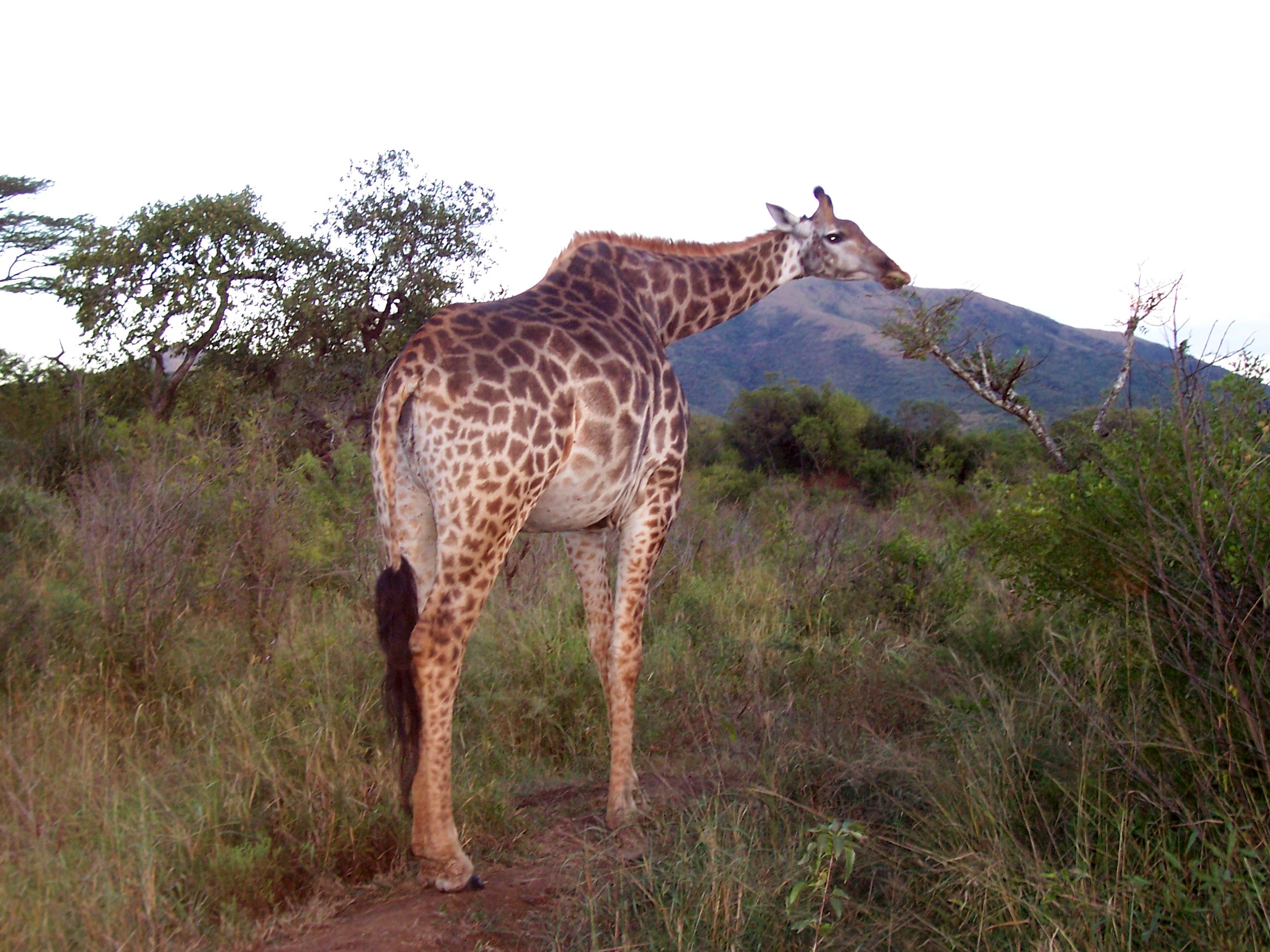 Caption: Giraffe on lunch break., Credit: Tonya Fitzpatrick