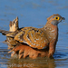 Caption: Burchell's Sandgrouse, Credit: Ian White