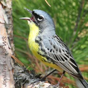 Caption: Kirtland's Warbler, Credit: Joel Trick