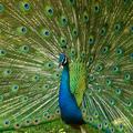 Peacocks_small