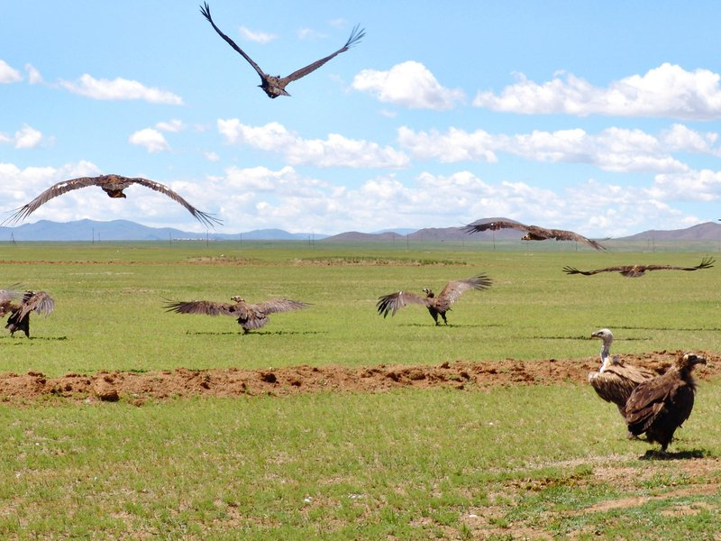 Caption: Wild vultures in Mongolia are key components of sky burials., Credit: Totajla/iStock