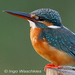 Caption: Common Kingfisher, Credit: Ingo Waschkies