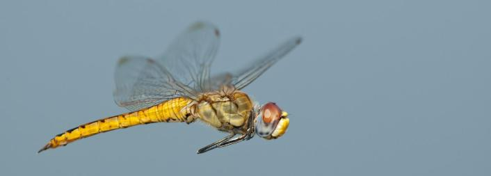 Caption: The body and wings of the dragonfly Pantala flavescens have evolved in a way that lets the insect glide extraordinary distances on weather currents The body and wings of the dragonfly Pantala flavescens have evolved in a way that lets the insect glide ext, Credit: Greg Lasley