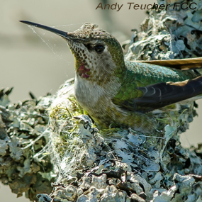 Caption: ANna's Hummingbird, Credit: Andy Teucher