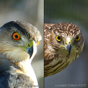 Caption: Cooper's Hawk
