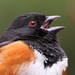 Caption: Spotted Towhee, Credit: Pat Gaines