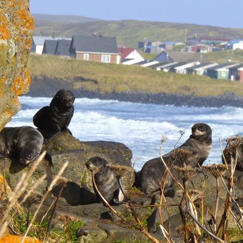 Caption: Fur seals by the village of St. Paul, Alaska, Credit: KUCB/John Ryan