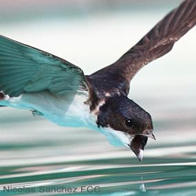 Caption: Swallow drinking, Credit: N Sanchez