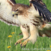 Caption: Red-tailed Hawk, Credit: Mike Gifford