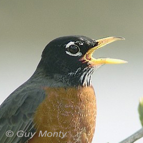 Caption: American Robin, Credit: Guy Monte