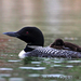 Caption: Common Loon, Credit: John Dykstra